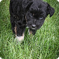 Adopt A Pet :: Wilfred - Broomfield, CO