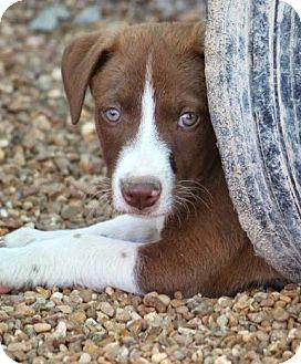 Labrador Retriever/Spaniel (Unknown Type) Mix Puppy for adoption in Westport, Connecticut - *Hyde - PENDING