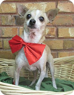 Chihuahua Mix Dog for adoption in Benbrook, Texas - Oscar