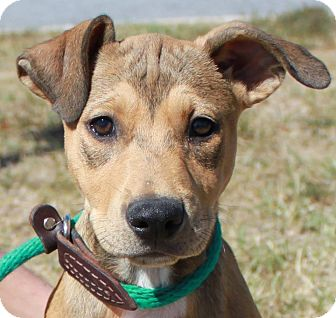 Pit Bull Terrier/Shepherd (Unknown Type) Mix Puppy for adoption in Staunton, Virginia - Katie
