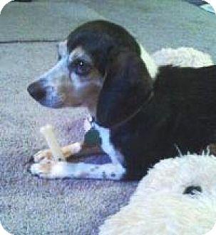 Beagle Dog for adoption in Irmo, South Carolina - Bella