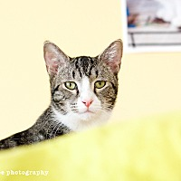 Bengal Cat for adoption in Island Park, New York - Simon