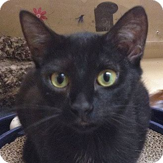 Domestic Shorthair Cat for adoption in Weatherford, Texas - Willow