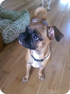 Pug/Chihuahua Mix Puppy for adoption in Seattle, Washington - Molly