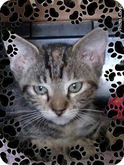 Domestic Shorthair Kitten for adoption in Pueblo West, Colorado - Poco