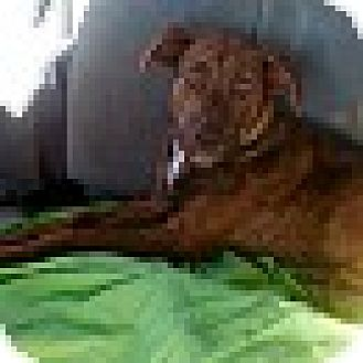Catahoula Leopard Dog/German Shepherd Dog Mix Dog for adoption in CHAMPAIGN, Illinois - LACEY