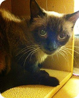 Siamese Cat for adoption in Lake Elsinore, California - Monique