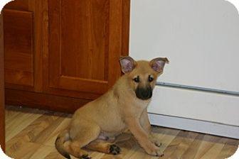 German Shepherd Dog/Labrador Retriever Mix Puppy for adoption in Libertyville, Illinois - Chewy