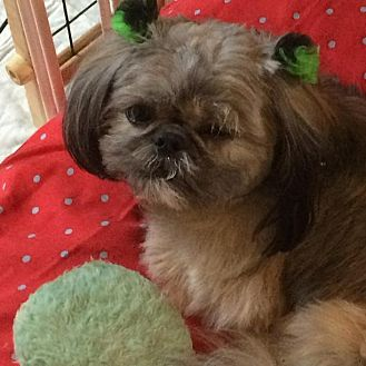 Shih Tzu Dog for adoption in Homer Glen, Illinois - Ariel