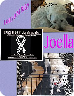 Westie, West Highland White Terrier Mix Dog for adoption in Hearne, Texas - Joella