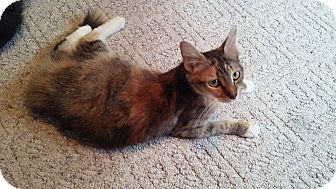 Domestic Shorthair Cat for adoption in Mims, Florida - Callie