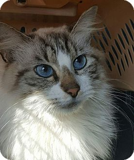 Ragdoll Cat for adoption in Albemarle, North Carolina - Patricia Nixon