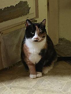 Calico Cat for adoption in Cincinnati, Ohio - Minnie