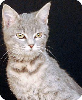 Domestic Shorthair Kitten for adoption in Newland, North Carolina - Luvee