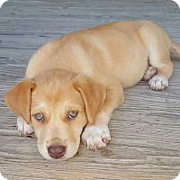 Adopt A Pet :: Jules-pending adoption - Manchester, CT