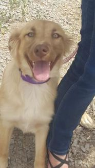 Golden Retriever/Shepherd (Unknown Type) Mix Dog for adoption in Las Cruces, New Mexico - Angel