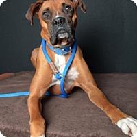 Adopt A Pet :: Rocky - Van Nuys, CA
