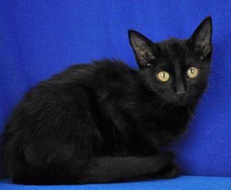 Domestic Shorthair/Domestic Shorthair Mix Cat for adoption in Cabot, Arkansas - Boo