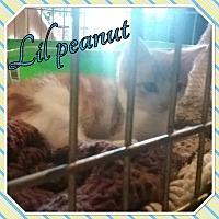 Adopt A Pet :: Lil peanut - Cedar Springs, MI