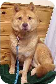 Chow Chow/Husky Mix Dog for adoption in Whitestown, Indiana - Adel