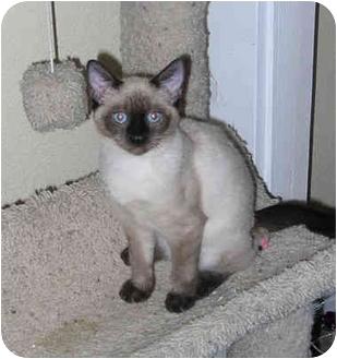 Siamese Kitten for adoption in Palmdale, California - Tiffany