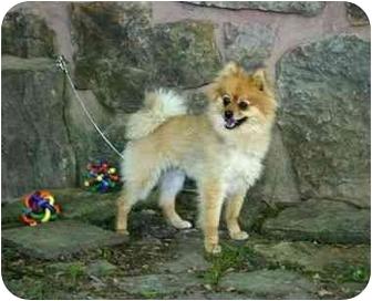 Pomeranian Mix Dog for adoption in Muldrow, Oklahoma - Leo