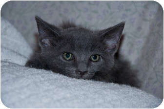 Domestic Shorthair Kitten for adoption in New Egypt, New Jersey - Cloud