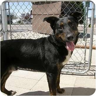 Australian Shepherd Mix Dog for adoption in Meridian, Idaho - Rayne