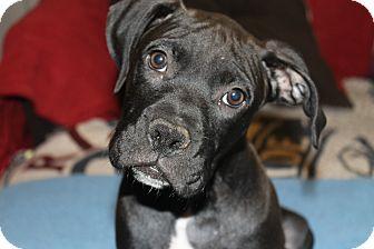 Boxer Mix Puppy for adoption in ARDEN, North Carolina - Mac