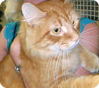 Maine Coon Cat for adoption in Chesapeake, Virginia - Pascal