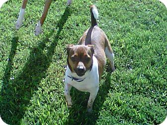 Jack Russell Terrier Mix Dog for adoption in Houston, Texas - Jack in Houston
