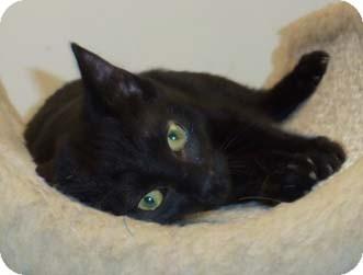 Domestic Shorthair Kitten for adoption in Merrifield, Virginia - Shasta