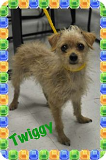Wirehaired Fox Terrier Mix Dog for adoption in Corpus Christi, Texas - Twiggy