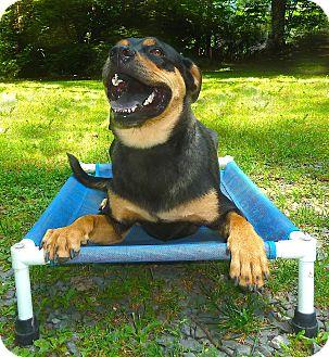 Terrier (Unknown Type, Medium)/Rottweiler Mix Dog for adoption in Carmel, New York - Zeus