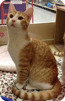 Domestic Shorthair Cat for adoption in Weatherford, Texas - Pumpkin