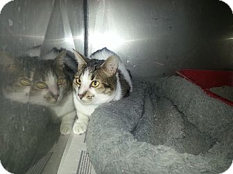Domestic Shorthair Cat for adoption in Edgewood, New Mexico - Talia