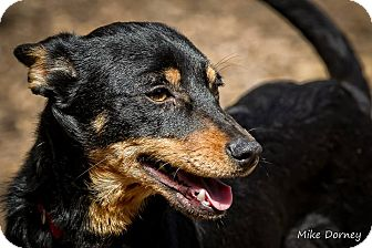 Miniature Pinscher Mix Dog for adoption in Westminster, California - Mickey