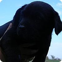 Adopt A Pet :: Bear - cameron, MO