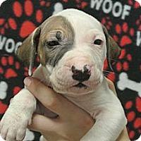Adopt A Pet :: Patch - white settlment, TX