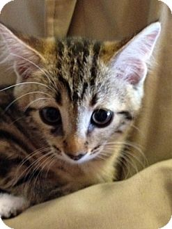 Domestic Shorthair Kitten for adoption in Schertz, Texas - Baxter