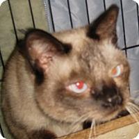 Adopt A Pet :: BabyBear - Dallas, TX