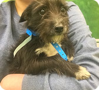 Miniature Schnauzer/Terrier (Unknown Type, Small) Mix Puppy for adoption in Carlisle, Pennsylvania - Edison