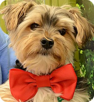 Yorkie, Yorkshire Terrier Mix Dog for adoption in Rockaway, New Jersey - Chancey