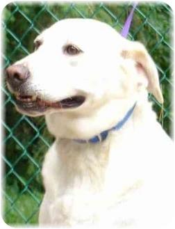 Labrador Retriever Dog for adoption in Wyoming, Minnesota - Pearl