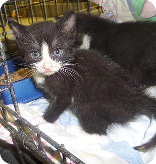 Domestic Shorthair Kitten for adoption in East Brunswick, New Jersey - Bradly