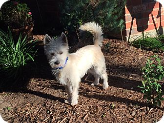 Westie, West Highland White Terrier Mix Dog for adoption in Frisco, Texas - LOGAN-ADOPTED