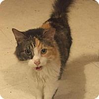 Domestic Mediumhair Cat for adoption in Indianapolis, Indiana - Minerva