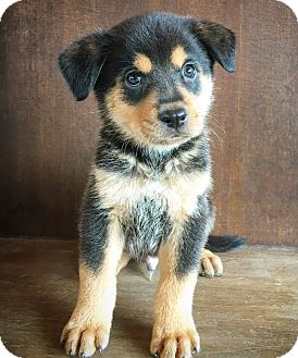 Shepherd (Unknown Type) Mix Puppy for adoption in Fredericksburg, Texas - Chad