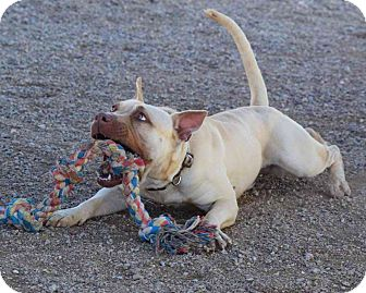 American Staffordshire Terrier Mix Dog for adoption in Sierra Vista, Arizona - Gingko