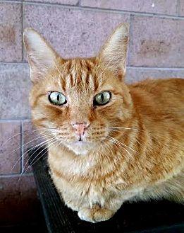 Hemingway/Polydactyl Cat for adoption in Palo Cedro, California - Duncan